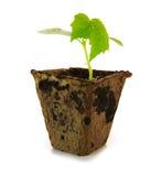 Cucumber plant isolated . Cucumber plant isolated on white background Royalty Free Stock Image