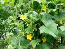 Cucumber plant-Kashmir valley Stock Photo