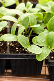 Cucumber Plant Seedlings. Close up of some young cucumbers plant seedlings in a tray Royalty Free Stock Image