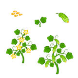 Cucumber plant with seeds and flowers Stock Image