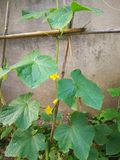 Cucumber plant. On the wooden frame, leaning against the wall Stock Image