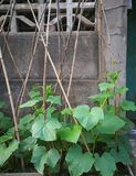 Cucumber plant. On the wooden frame, leaning against the wall Royalty Free Stock Images