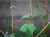 Cucumber plant. On the wooden frame, leaning against the wall Stock Photo