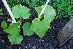 Cucumber plant Stock Photos