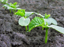Cucumber plantation Royalty Free Stock Images