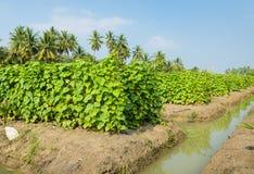 Cucumber plantation Royalty Free Stock Images