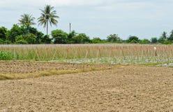 Cucumber plantation Royalty Free Stock Image