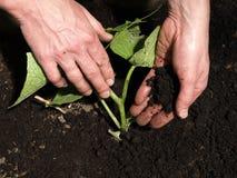 Cucumber planting Stock Photos