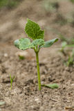 Cucumber plantlet Stock Image