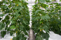 Cucumber plants. Wit flowers in greenhouse Royalty Free Stock Photos