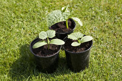 Cucumber Plants Royalty Free Stock Photos