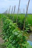 Cucumber plants Stock Image