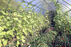 Cucumber plants in a greenhouse Royalty Free Stock Photo