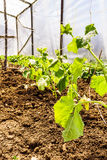 Cucumber Plants In The Greenhouse Stock Photography