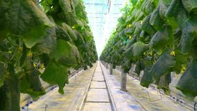 Cucumber plants grow with the help of hydroponics system in greenhouse. Lots of cucumber plants in massive glasshouse, grow with the help of hydroponics system stock video footage