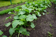 Cucumber plants Royalty Free Stock Image
