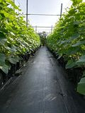 Cucumber plants in rows Royalty Free Stock Image