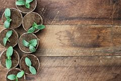 Cucumber Plants in Seedling Peat Pots. Over a rustic wooden table. Image shot from above in flat lay style Stock Photos