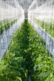 Cucumber plants. A shot of cucumber plants growing inside a greenhouse Royalty Free Stock Image
