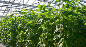 Cucumber plants. A shot of cucumber plants growing inside a greenhouse Stock Image
