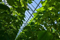Cucumber plants Royalty Free Stock Images