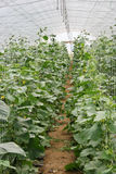 Cucumber production Stock Images