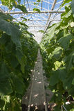 Cucumber production. Cucumber plants grown in the glasshouse Stock Images