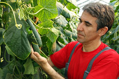 Cucumber Production In Greenhouse stock photography