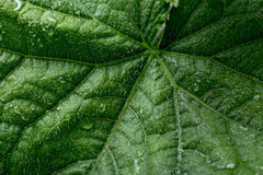 Cucumber's leaf with water drops Stock Image