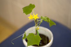 Cucumber seedling flourished. Spring 2017 Royalty Free Stock Image