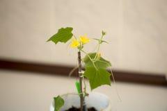 Cucumber seedling flourished Stock Images