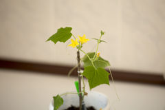 Cucumber seedling flourished. Spring 2017 Stock Images
