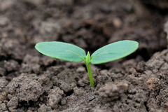 Cucumber seedling. Outdoors in the farm royalty free stock photos
