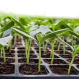 Cucumber seedling Stock Photo