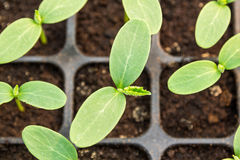 Cucumber seedling. In plastic tray royalty free stock photo