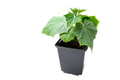 Cucumber seedling in a pot isolated on a white background Royalty Free Stock Photos