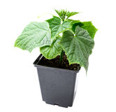Cucumber seedling in a pot isolated on a white background Stock Image