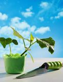 Cucumber seedling in pot Stock Photography