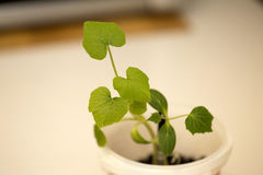 Cucumber seedling. In rural farm Stock Photography