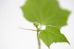 Cucumber seedling. In rural farm Royalty Free Stock Photography