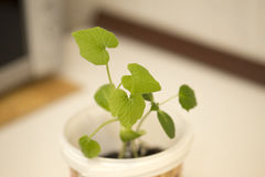 Cucumber seedling. In rural farm Stock Image