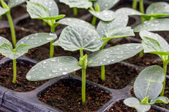 Cucumber seedling on tray Royalty Free Stock Photo