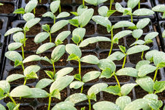 Cucumber seedling on tray. Royalty Free Stock Image
