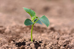 Cucumber seedling in the vegetable garden Royalty Free Stock Photo