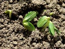 Cucumber seedlings stock photos