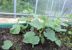 Cucumber seedlings on the gardenbad Royalty Free Stock Photo