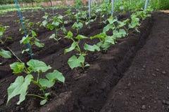 Cucumber seedlings Royalty Free Stock Image