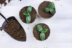 Cucumber Seedlings and Hand Trowel. Three cucumber seedling plants in peat pots with gardening trowl pots and soil on a white wooden table. Image shot from above Stock Image