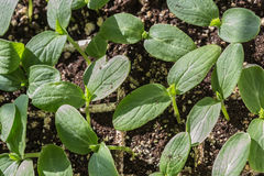 Cucumber Seedlings Royalty Free Stock Images
