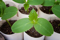 The Cucumber Seedlings Royalty Free Stock Photos